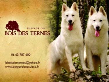 Elevage De Berger Blanc Suisse Du Bois Des Ternes Berger Blanc Suisse De Reference En France